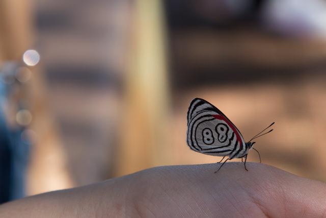 """珍しい柄の蝶 """"88""""と書いてあるように見えます"""