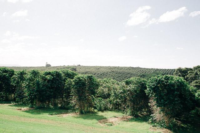 コーヒー畑