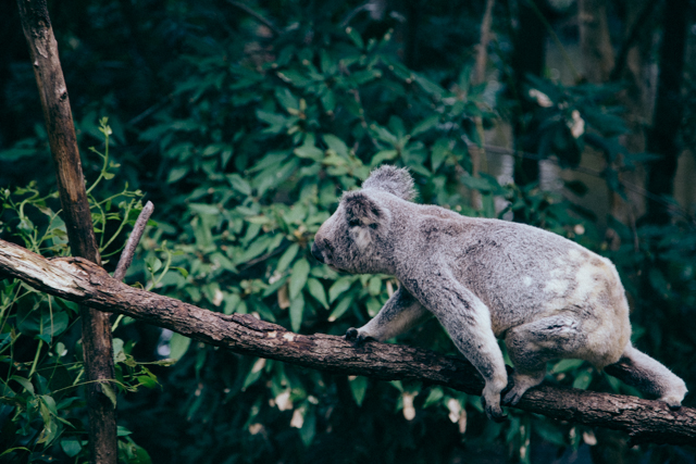 Currumbin Wildlife Sanctuaryのコアラ
