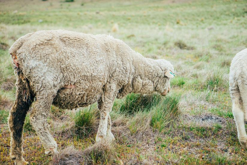 道中にいた羊