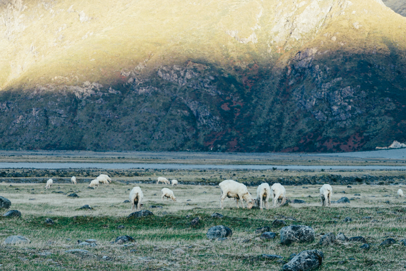 帰り道に見つけた羊たち