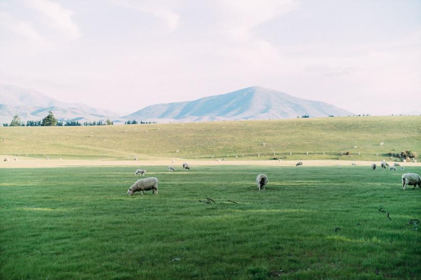 羊の姿も沢山見かけます