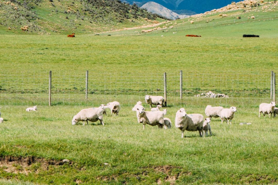 本当に沢山いた羊ともお別れ
